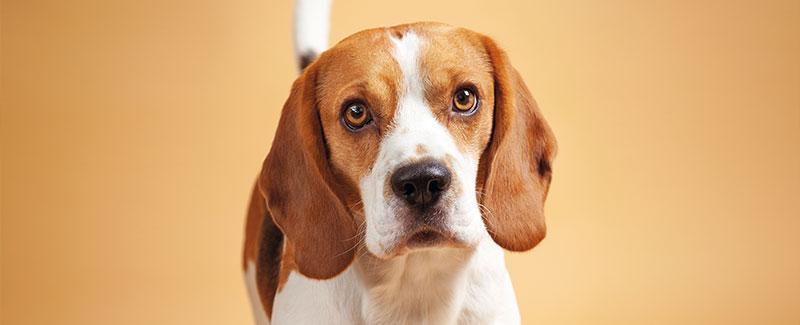 Plas uw hond in huis?